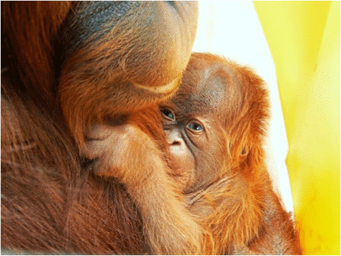 CT Fertility Doctor Mark Leondires Helps Orangutan Become Mother