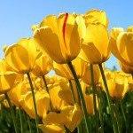 ladies night in tulips