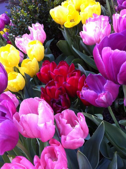 Spring Tulips   Fertile World 8