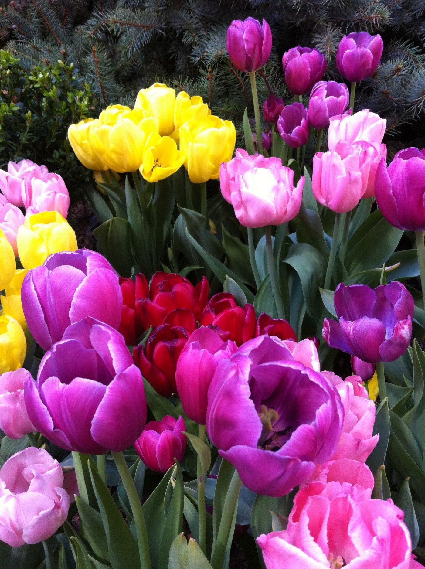 Spring Tulips   Fertile World 9