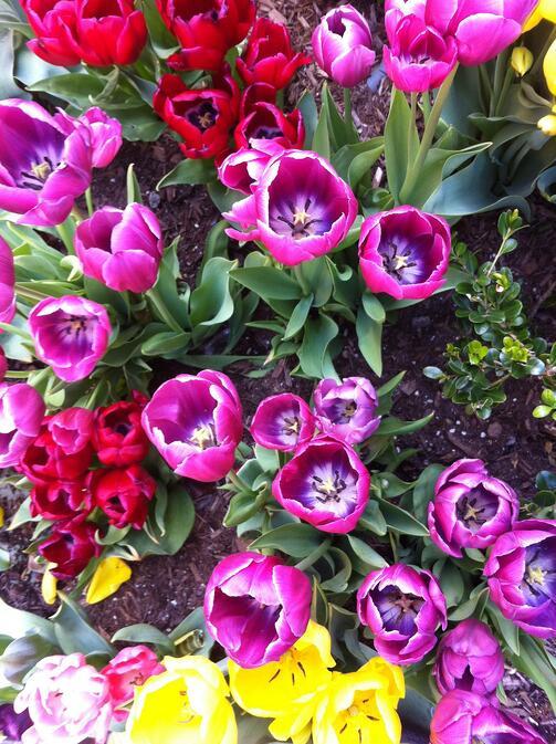 Spring Tulips   Fertile World 10