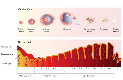 Ovarian Cycle Explained
